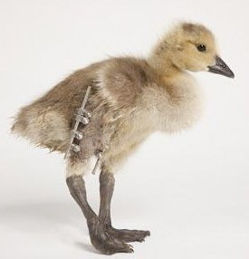 cropped-bionic-goose-rm-eng.jpg